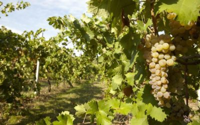 Registration is open for the 1st International Wine Competition Vermentino